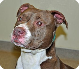 Pit Bull Terrier Mix Dog for adoption in Port Washington, New York - Princess