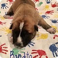 Adopt A Pet :: Bandito - Milton, GA