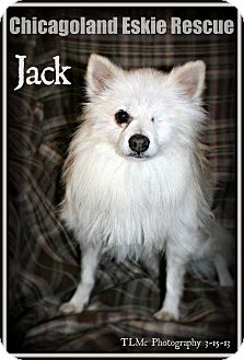 American Eskimo Dog Dog for adoption in Elmhurst, Illinois - Jack