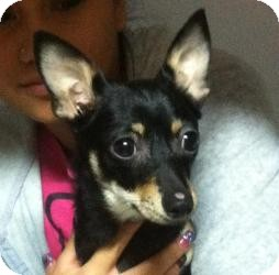 Chihuahua Mix Dog for adoption in Sacramento, California - Katie