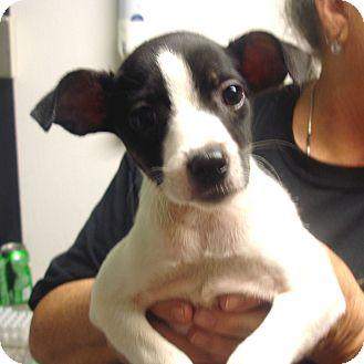 Jack Russell Terrier/Chihuahua Mix Puppy for adoption in baltimore, Maryland - Miracle