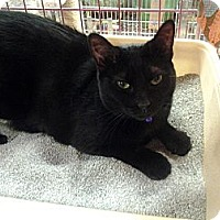 Domestic Shorthair Cat for adoption in Chesapeake, Virginia - Midnight