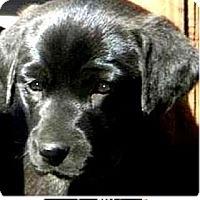 Adopt A Pet :: Beauty - Pawling, NY