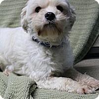 Adopt A Pet :: Munchkin - Wytheville, VA