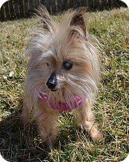 chinese crested terrier charlotte nc yorkie yorkshire terrier chinese crested 4717