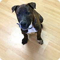 Adopt A Pet :: Louie in CT - East Hartford, CT