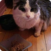 Adopt A Pet :: Leonardo DiFluffio - THORNHILL, ON