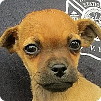 Adopt A Pet :: Hersh - Germantown, MD