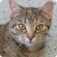 Domestic Shorthair Cat for adoption in Martinsville, Indiana - Deidra