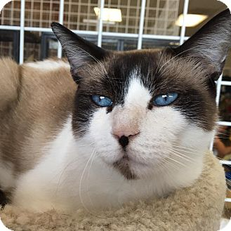 Siamese Cat for adoption in Houston, Texas - ZIVA