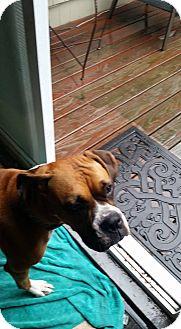 Boxer Dog for adoption in Dartmouth, Massachusetts - Pebbles