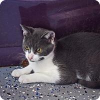Adopt A Pet :: Socrates - Covington, KY
