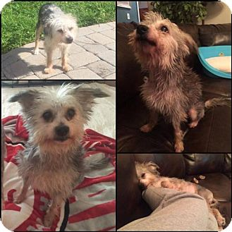 Chinese Crested Mix Dog for adoption in Orlando, Florida - LJ