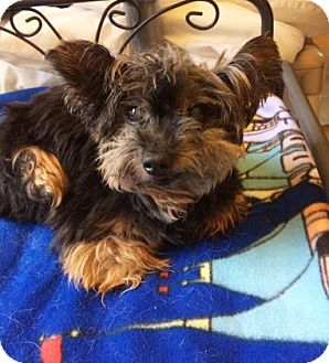 Yorkie, Yorkshire Terrier Mix Dog for adoption in San Francisco, California - Bentley