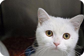 Exotic Cat for adoption in Dearborn, Michigan - Suzie Q