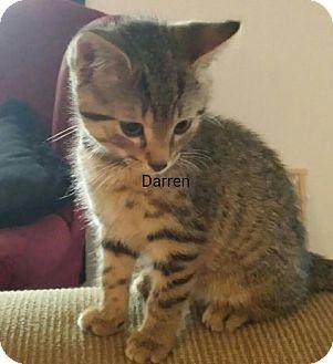 Domestic Shorthair Kitten for adoption in Waldorf, Maryland - Darren