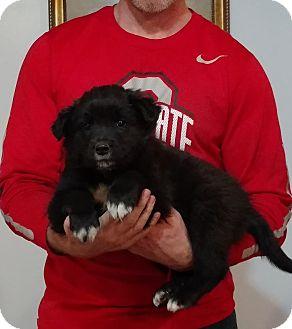 Border Collie/Labrador Retriever Mix Puppy for adoption in Gahanna, Ohio - Marshall