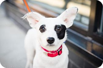 Chihuahua Mix Dog for adoption in Brooklyn, New York - Natalia Dyer