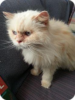 Himalayan Cat for adoption in Powder Springs, Georgia - DONATELLA