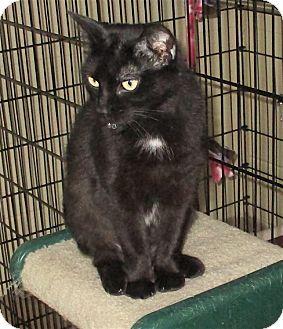 Domestic Shorthair Cat for adoption in Euclid, Ohio - Mischief