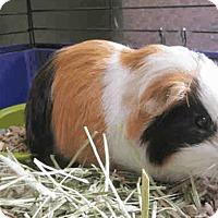 Adopt A Pet :: *Urgent* Chicago - Fullerton, CA