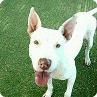 Adopt A Pet :: Pebbles - Gilbert, AZ