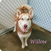 Adopt A Pet :: Willow - California City, CA
