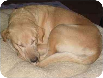 Labrador Retriever Dog for adoption in Evergreen, Colorado - Gretchen