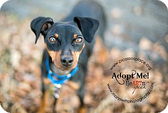 Miniature Pinscher Mix Dog for adoption in Myersville, Maryland - Crash
