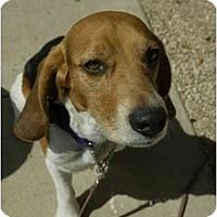Adopt A Pet :: Max Pack - Phoenix, AZ