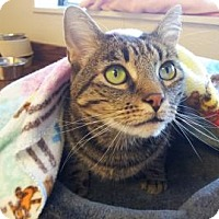 Domestic Shorthair Cat for adoption in Mountain Center, California - Grumpy