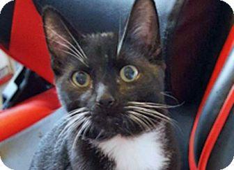 Domestic Shorthair Kitten for adoption in Prescott, Arizona - Felix