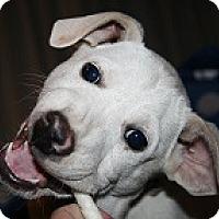 Adopt A Pet :: Cabbage Radiccio - Baltimore, MD