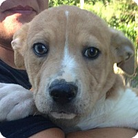 Adopt A Pet :: Logan - Allentown, PA