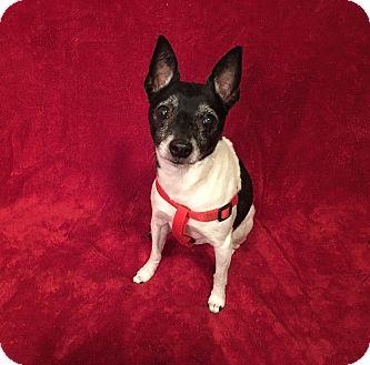 Rat Terrier/Terrier (Unknown Type, Medium) Mix Dog for adoption in Santa Clara, California - Wilma-ADOPTED
