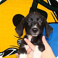 Adopt A Pet :: Pauli - Oviedo, FL