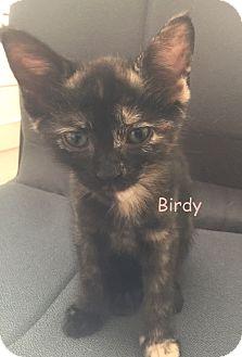 Domestic Shorthair Kitten for adoption in Cliffside Park, New Jersey - BIRDY