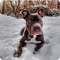 Adopt A Pet :: Blue Diamond - Wenonah, NJ