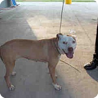 American Staffordshire Terrier Mix Dog for adoption in Newnan City, Georgia - Chino