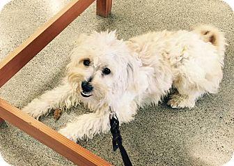 Poodle (Miniature) Mix Dog for adoption in Woodinville, Washington - Jaxon