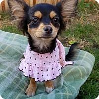 Chihuahua Puppy for adoption in Rathdrum, Idaho - Mischief