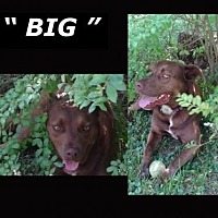 Adopt A Pet :: BIG* - Madison, AL