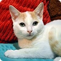 Domestic Shorthair Kitten for adoption in Richmond, Virginia - Addie