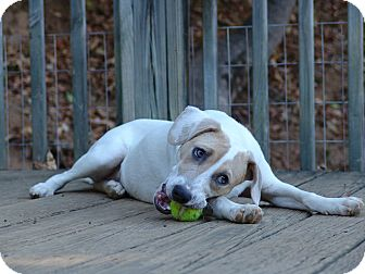 Hound (Unknown Type)/Jack Russell Terrier Mix Dog for adoption in Staunton, Virginia - Barbie -  $200