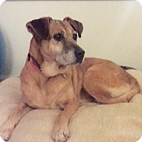 Labrador Retriever Mix Dog for adoption in Summerville, South Carolina - Carmen