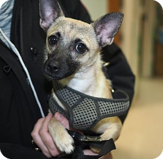 Pomeranian/Chihuahua Mix Dog for adoption in Whitehall, Pennsylvania - Pablo