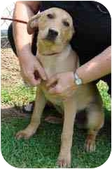 Labrador Retriever Mix Puppy for adoption in Hammonton, New Jersey - Tango