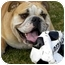 Photo 2 - English Bulldog Dog for adoption in Gilbert, Arizona - Uno*adoption pending!*