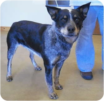 Blue Heeler/Rottweiler Mix Dog for adoption in Wickenburg, Arizona - Jett