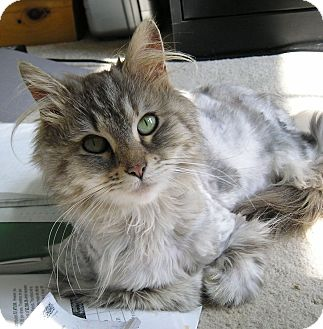 Maine Coon Cat for adoption in Barnegat, New Jersey - Slipper